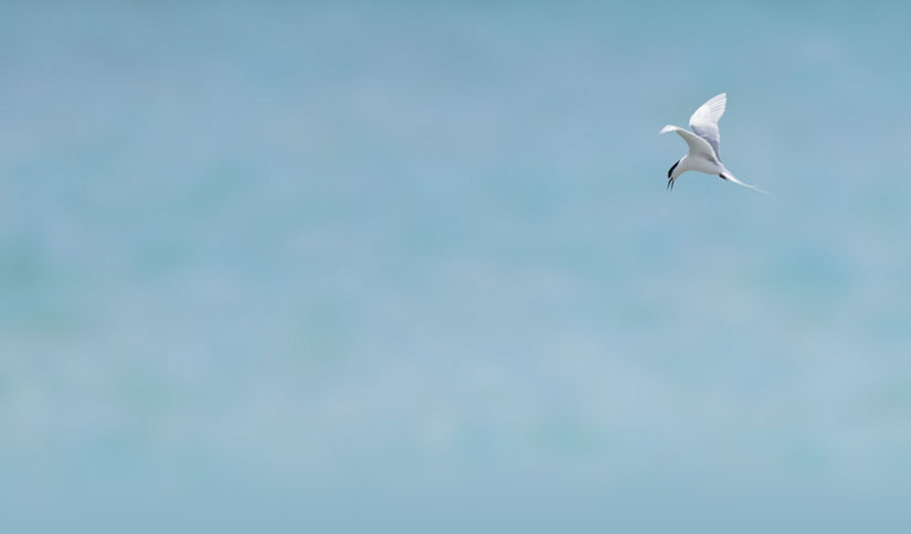 White-fronted tern, Sterna striata