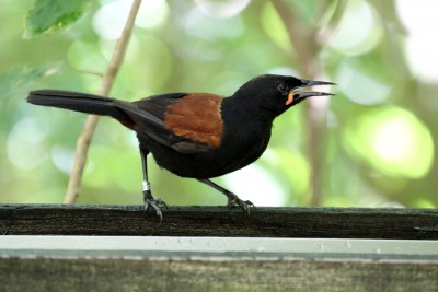 A tieke (Saddleback)