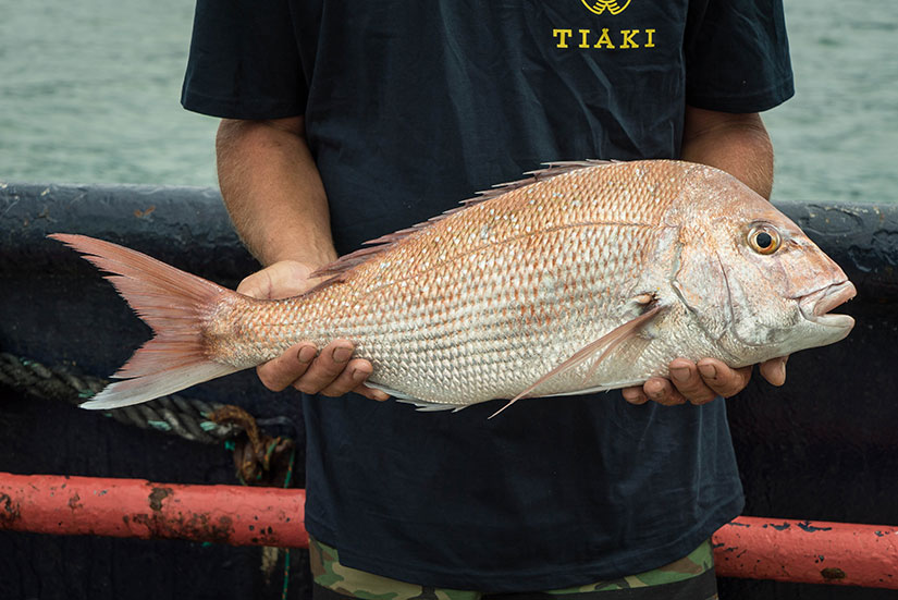 Snapper caught by Tiaki