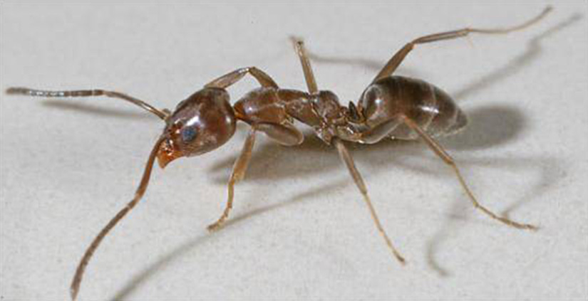 Argentine ant removed from Tiri