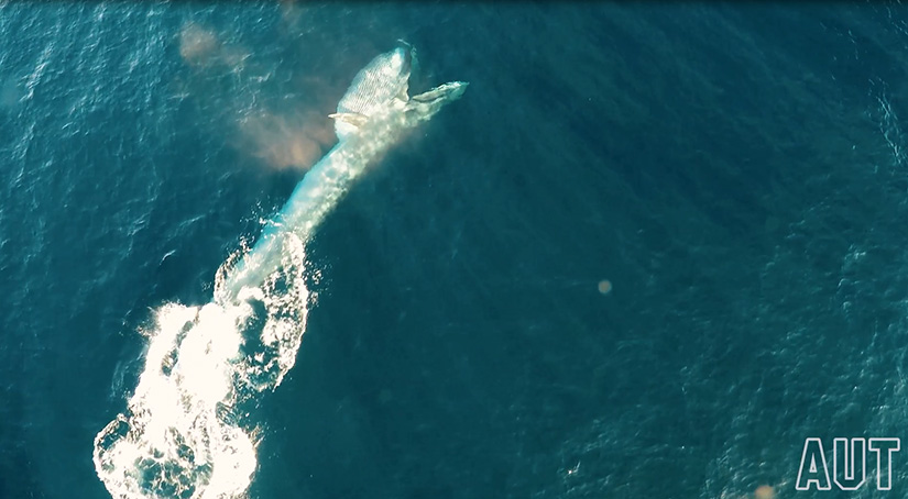 Drone footage of a Bryde's whale lunging after prey