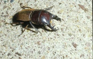 mokohinau-stag-beetle-jan-1984-ec