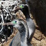 Nesting Spotted Shag