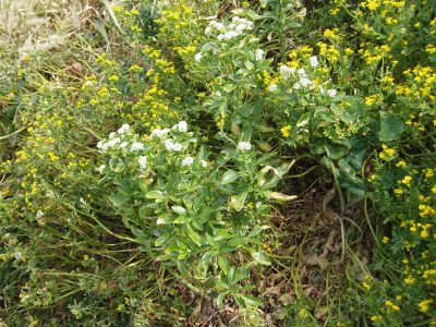 Cook's scurvy grass Geranium retrorsum