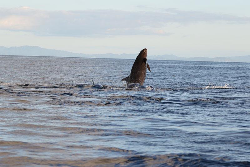 Adult male false killer whale breaching