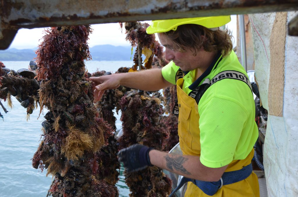 NIML mussel harvesting – Photo by Andrew Jeffs
