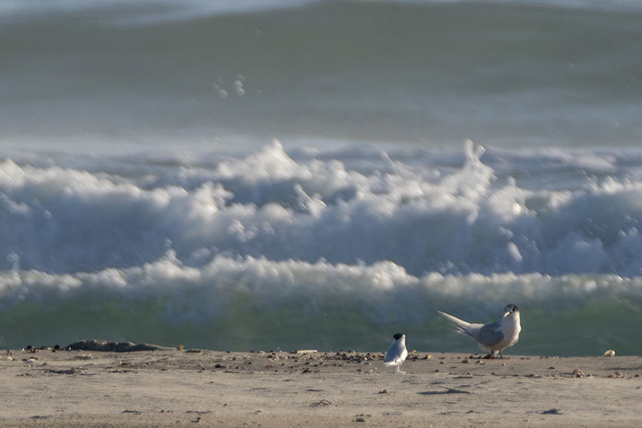 A white-fronted tern's reaction to a NZ fairy tern decoy