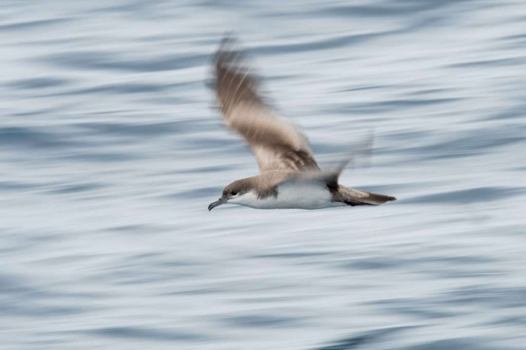 Buller's shearwater by Edin Whitehead