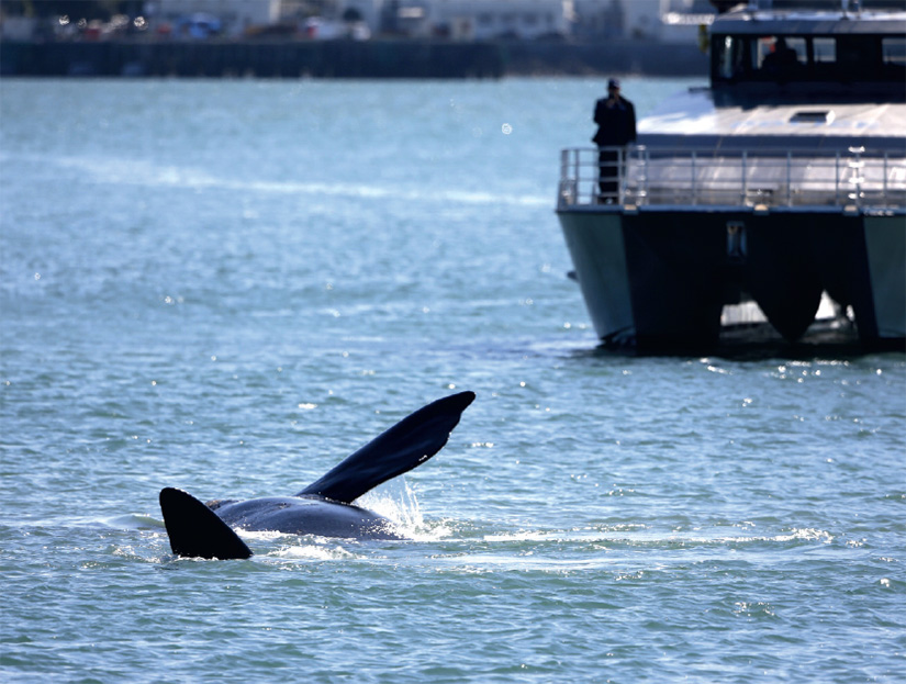 Right whale in Waitemata Harbour