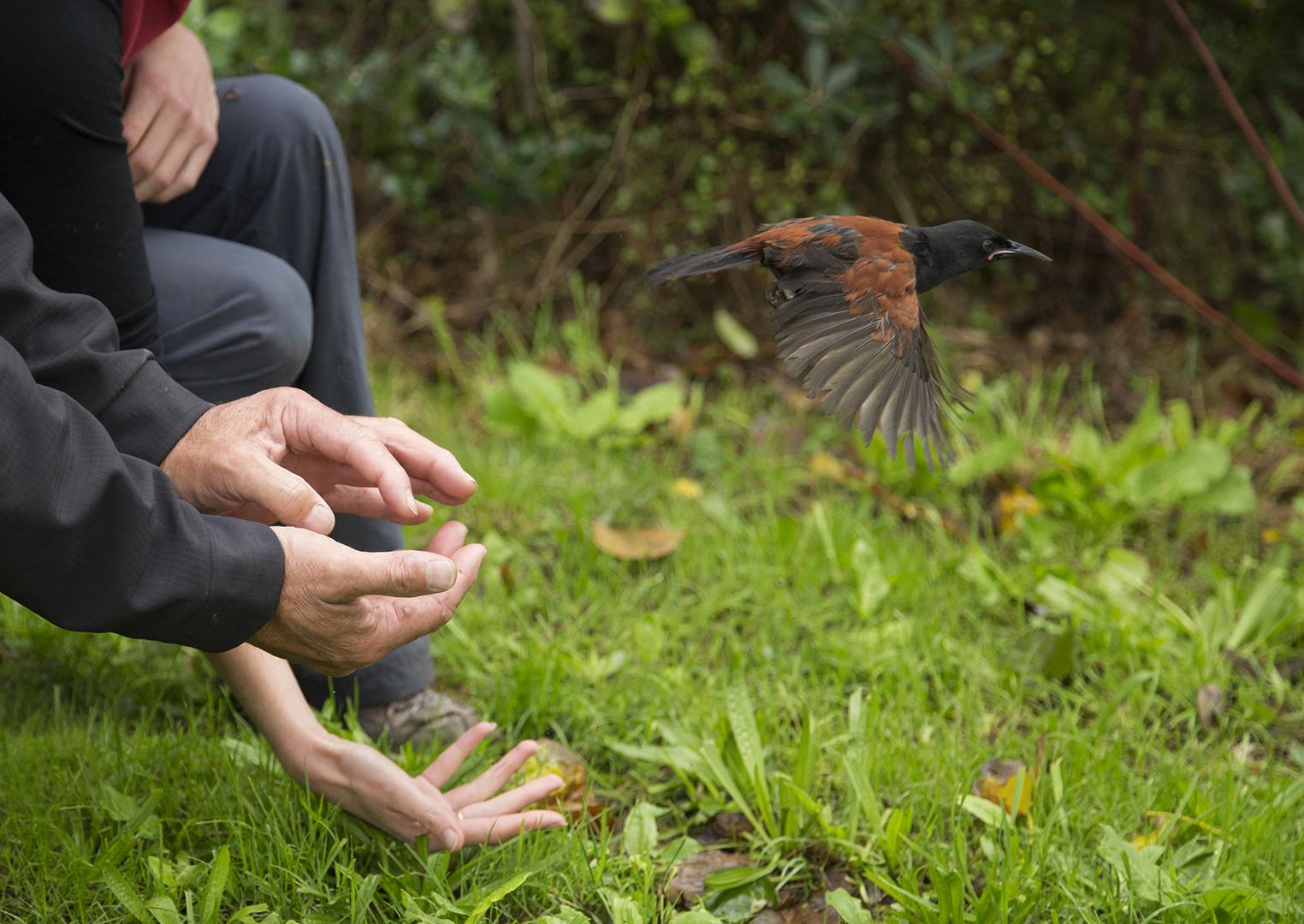 Tieke release on Tiritiri Matangi Island