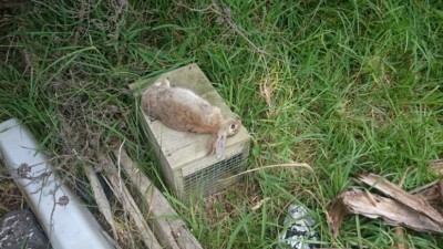 First rabbit caught in DOC200 trap – Jan 2015