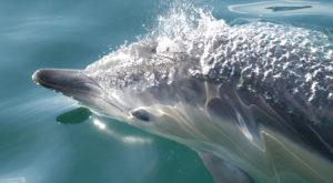 Common dolphin (Delphinus delphis)