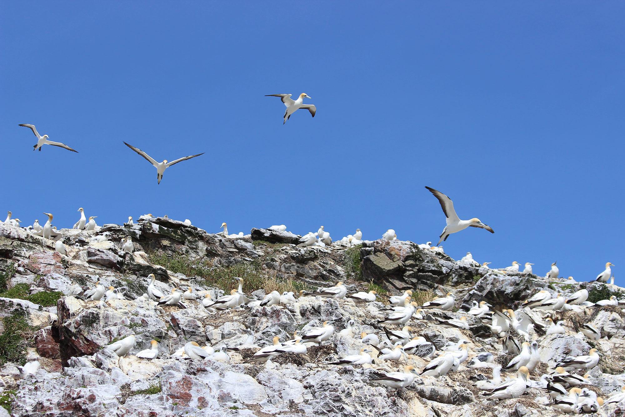 Gannets at Gannet Rock/Horu horu island