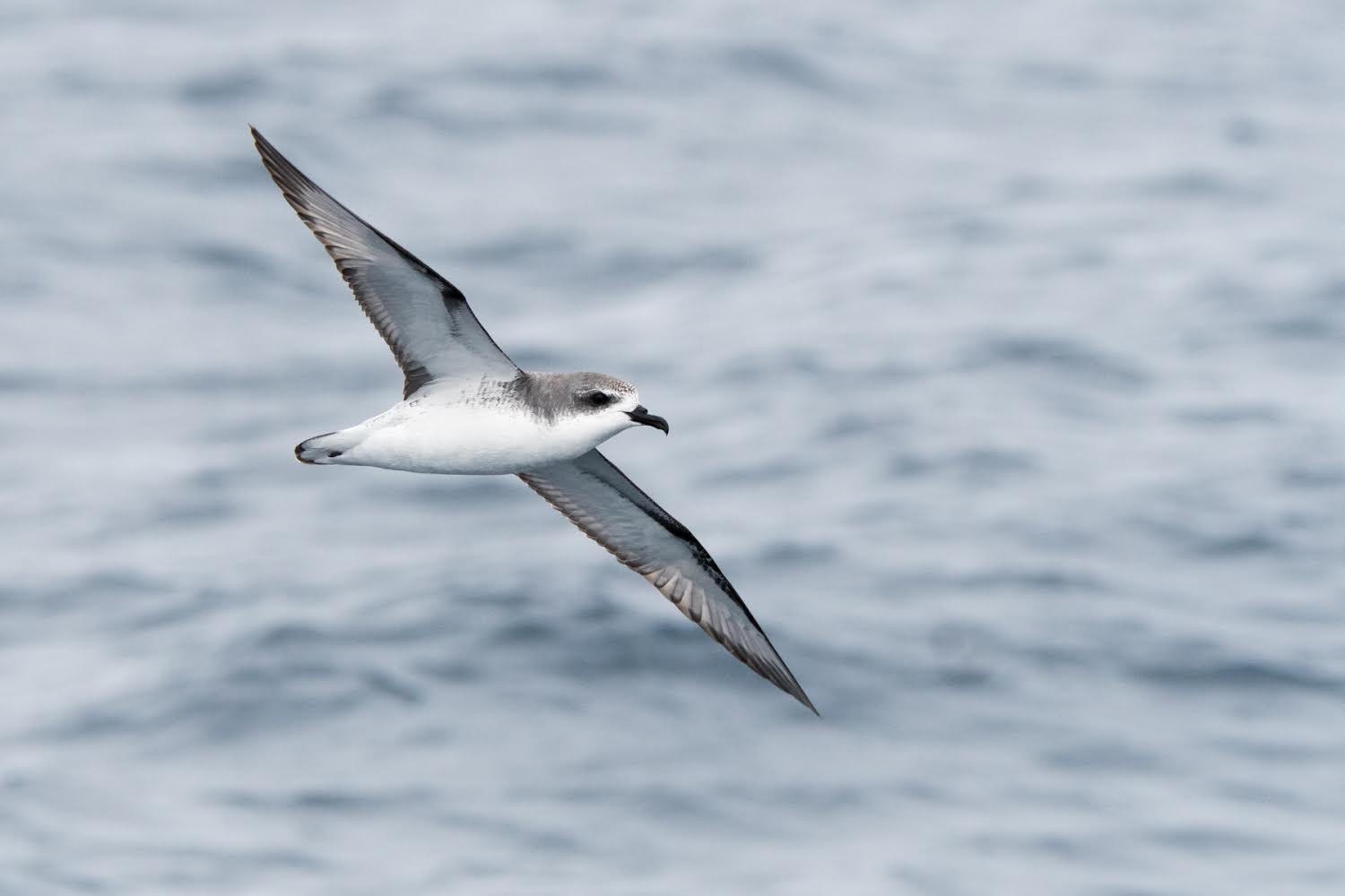 Cook's petrel in flight in the Hauraki Gulf Marine Park