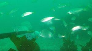 Using BRUVS underwater in the Hauraki Gulf Marine Park (c) Odette Howarth
