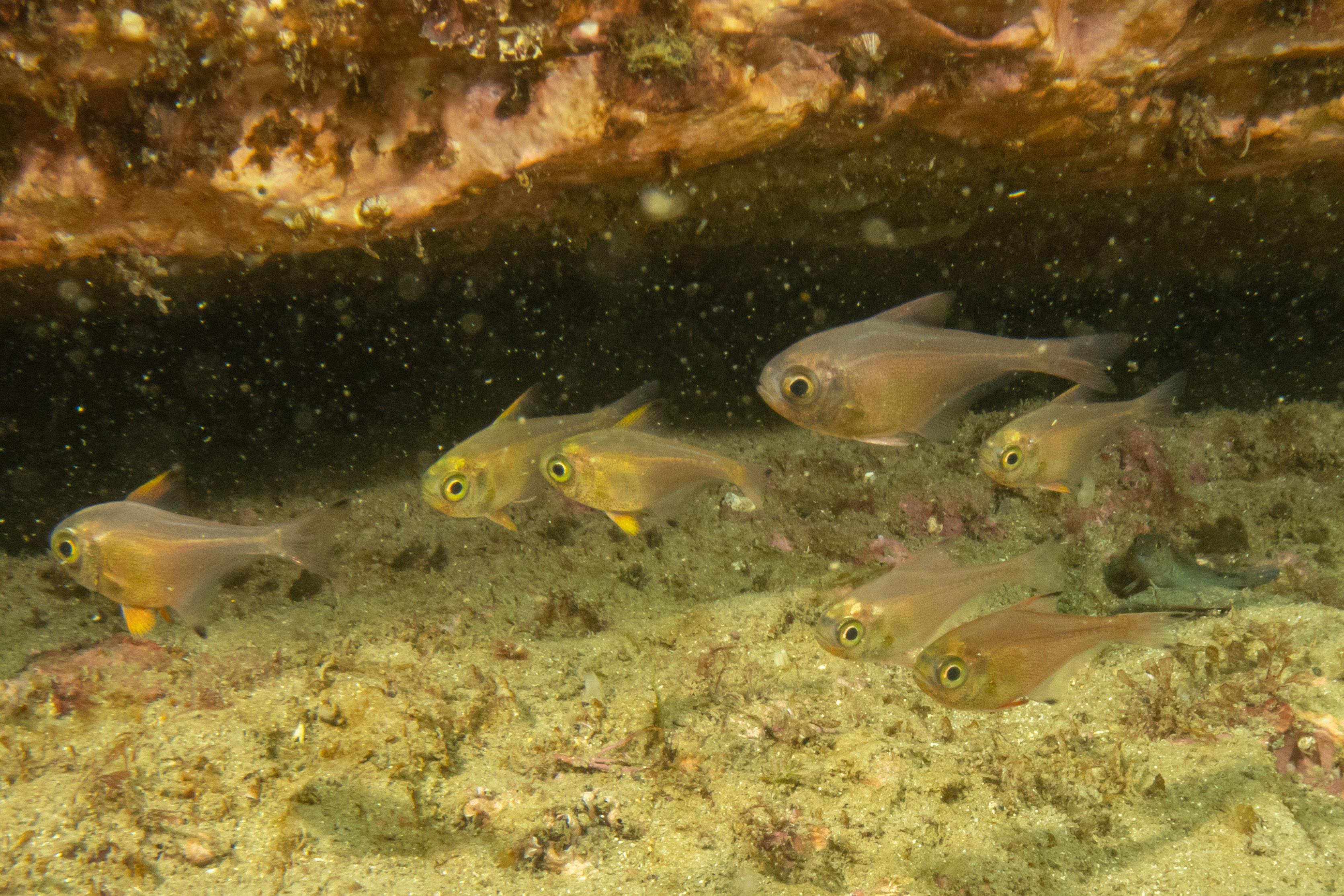 Bigeye fish